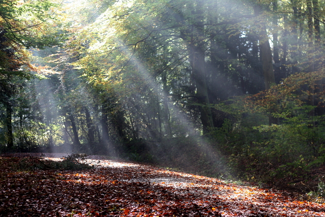 Autumn sunlight Beech wood